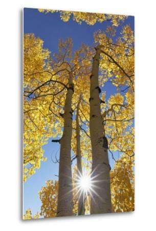 Colorado, San Juan Mountains. Aspen Trees in Autumn Color-Jaynes Gallery-Metal Print