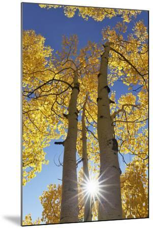 Colorado, San Juan Mountains. Aspen Trees in Autumn Color-Jaynes Gallery-Mounted Photographic Print