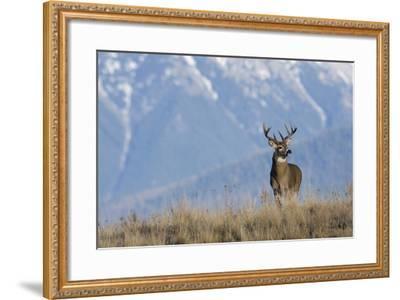 White-Tailed Deer Buck-Ken Archer-Framed Photographic Print