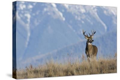 White-Tailed Deer Buck-Ken Archer-Stretched Canvas Print