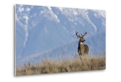 White-Tailed Deer Buck-Ken Archer-Metal Print
