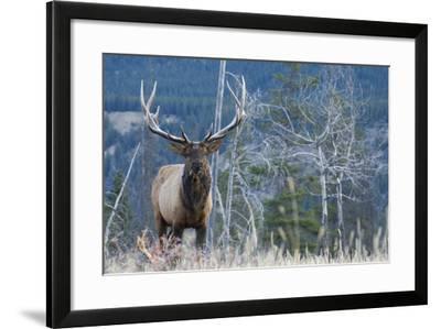 Rocky Mountain Bull Elk-Ken Archer-Framed Photographic Print