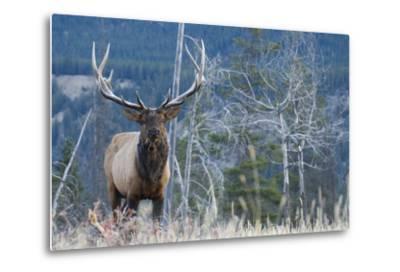 Rocky Mountain Bull Elk-Ken Archer-Metal Print
