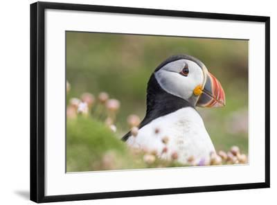 Atlantic Puffin. Scotland, Shetland Islands-Martin Zwick-Framed Photographic Print