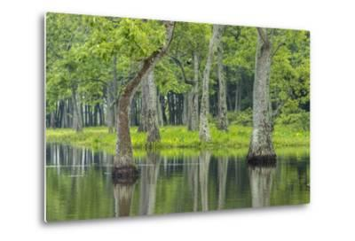 Louisiana, Miller's Lake. Tupelo Trees Reflect in Water-Jaynes Gallery-Metal Print