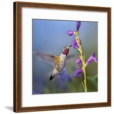 Broad-Tailed Hummingbird at Penstemon, Costa Rica-Tim Fitzharris-Framed Photographic Print
