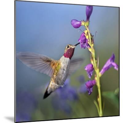 Broad-Tailed Hummingbird at Penstemon, Costa Rica-Tim Fitzharris-Mounted Photographic Print
