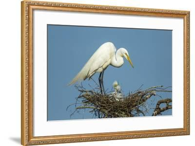 Texas, High Island, Smith Oaks Rookery. Great Egret Parent at Nest with Chicks-Jaynes Gallery-Framed Photographic Print