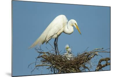 Texas, High Island, Smith Oaks Rookery. Great Egret Parent at Nest with Chicks-Jaynes Gallery-Mounted Photographic Print