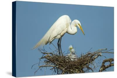 Texas, High Island, Smith Oaks Rookery. Great Egret Parent at Nest with Chicks-Jaynes Gallery-Stretched Canvas Print