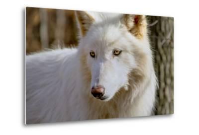 New Jersey, Columbia, Lakota Wolf Preserve. Close-Up of Arctic Wolf-Jaynes Gallery-Metal Print