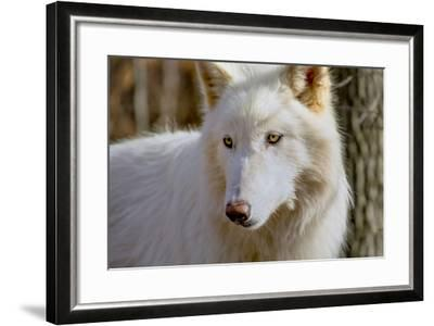 New Jersey, Columbia, Lakota Wolf Preserve. Close-Up of Arctic Wolf-Jaynes Gallery-Framed Photographic Print