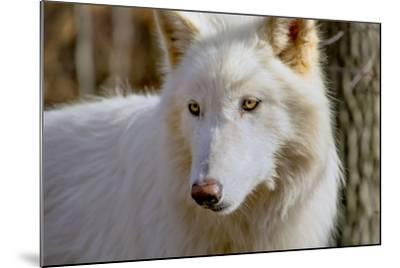 New Jersey, Columbia, Lakota Wolf Preserve. Close-Up of Arctic Wolf-Jaynes Gallery-Mounted Photographic Print