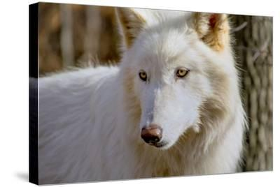 New Jersey, Columbia, Lakota Wolf Preserve. Close-Up of Arctic Wolf-Jaynes Gallery-Stretched Canvas Print