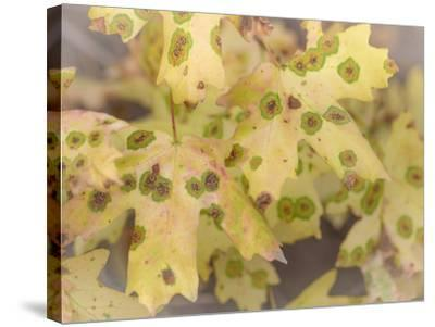 Utah, Wasatch Mountains. Close-Up of Maple Leaves-Jaynes Gallery-Stretched Canvas Print
