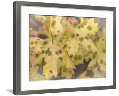 Utah, Wasatch Mountains. Close-Up of Maple Leaves-Jaynes Gallery-Framed Photographic Print