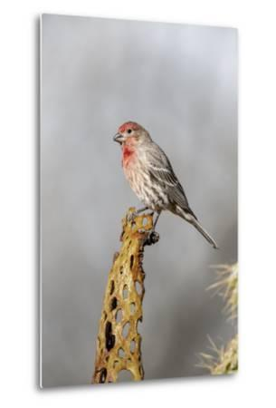 Arizona, Amado. Male House Finch on Perch-Jaynes Gallery-Metal Print