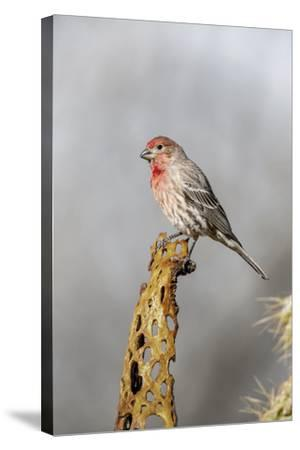 Arizona, Amado. Male House Finch on Perch-Jaynes Gallery-Stretched Canvas Print