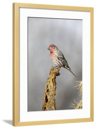 Arizona, Amado. Male House Finch on Perch-Jaynes Gallery-Framed Photographic Print