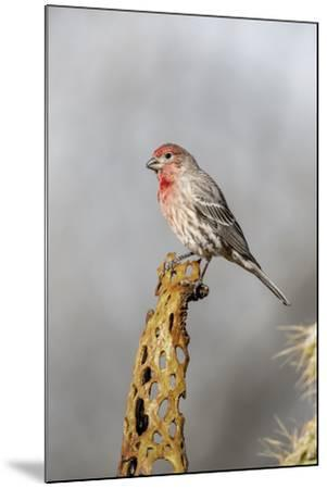Arizona, Amado. Male House Finch on Perch-Jaynes Gallery-Mounted Photographic Print