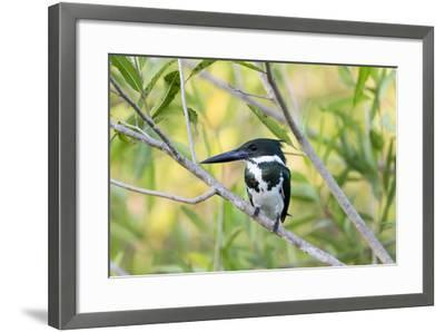 Brazil, Mato Grosso, the Pantanal, Amazon Kingfisher Female on a Branch-Ellen Goff-Framed Photographic Print