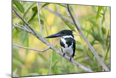 Brazil, Mato Grosso, the Pantanal, Amazon Kingfisher Female on a Branch-Ellen Goff-Mounted Photographic Print
