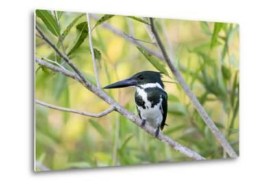 Brazil, Mato Grosso, the Pantanal, Amazon Kingfisher Female on a Branch-Ellen Goff-Metal Print