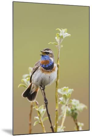 Bluethroat Singing-Ken Archer-Mounted Photographic Print