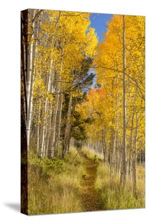 Utah, Fishlake National Forest. Trail in Aspen Trees-Jaynes Gallery-Stretched Canvas Print