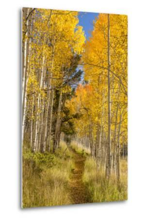 Utah, Fishlake National Forest. Trail in Aspen Trees-Jaynes Gallery-Metal Print