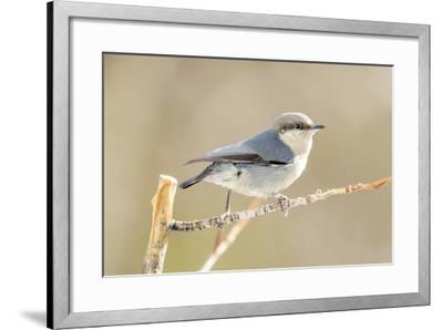 Colorado, Frisco. Close-Up of Pygmy Nuthatch-Jaynes Gallery-Framed Photographic Print