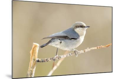 Colorado, Frisco. Close-Up of Pygmy Nuthatch-Jaynes Gallery-Mounted Photographic Print