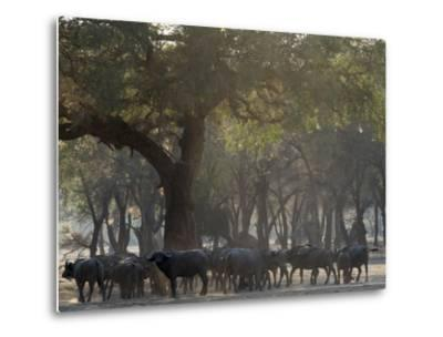 Africa, Zambia. Herd of Cape Buffaloes-Jaynes Gallery-Metal Print
