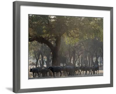 Africa, Zambia. Herd of Cape Buffaloes-Jaynes Gallery-Framed Photographic Print