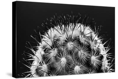Black and White Pattern of Small Cactus Spines-Adam Jones-Stretched Canvas Print