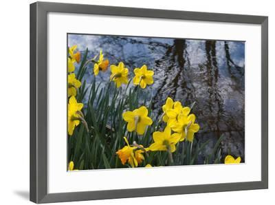 Daffodil Blooms-Anna Miller-Framed Photographic Print