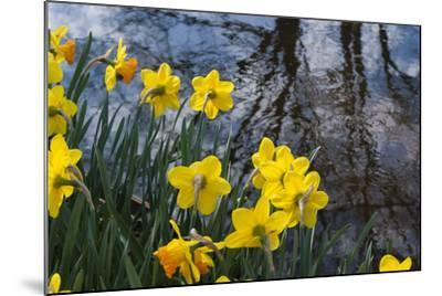 Daffodil Blooms-Anna Miller-Mounted Photographic Print