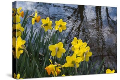 Daffodil Blooms-Anna Miller-Stretched Canvas Print