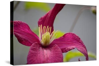 Pink Clematis-Savanah Stewart-Stretched Canvas Print