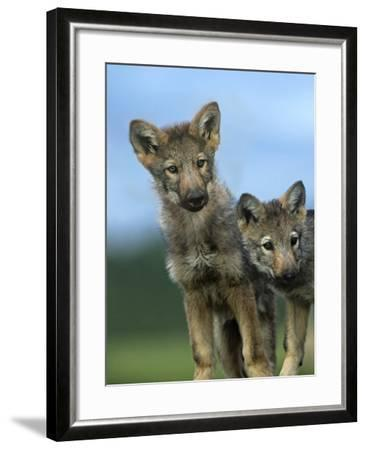 Gray Wolf Pups Look Curiously Around, Montana-Tim Fitzharris-Framed Photographic Print