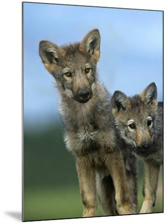 Gray Wolf Pups Look Curiously Around, Montana-Tim Fitzharris-Mounted Photographic Print
