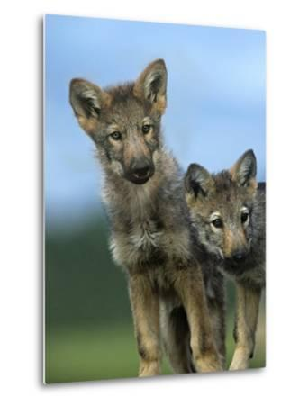 Gray Wolf Pups Look Curiously Around, Montana-Tim Fitzharris-Metal Print