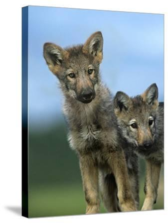 Gray Wolf Pups Look Curiously Around, Montana-Tim Fitzharris-Stretched Canvas Print