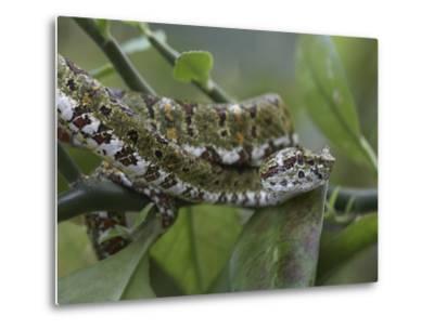 Eyelash Pit Viper Snake, Costa Rica-Tim Fitzharris-Metal Print