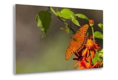 Gulf Fritillary Butterfly Nectaring on Flowers-Larry Ditto-Metal Print