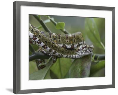 Eyelash Pit Viper Snake, Costa Rica-Tim Fitzharris-Framed Photographic Print