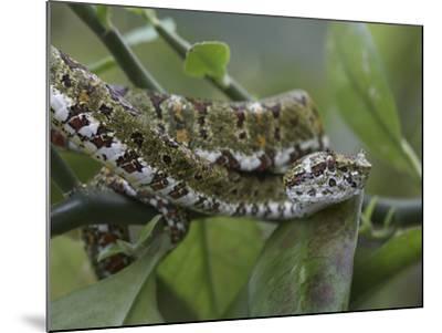 Eyelash Pit Viper Snake, Costa Rica-Tim Fitzharris-Mounted Photographic Print