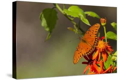Gulf Fritillary Butterfly Nectaring on Flowers-Larry Ditto-Stretched Canvas Print