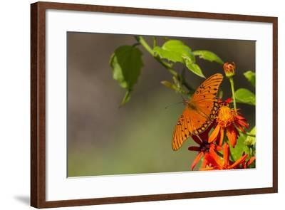 Gulf Fritillary Butterfly Nectaring on Flowers-Larry Ditto-Framed Photographic Print