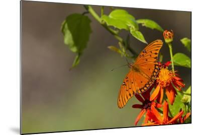 Gulf Fritillary Butterfly Nectaring on Flowers-Larry Ditto-Mounted Photographic Print